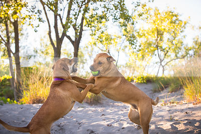 two mixed breed tan dogs snarling wrestling for ball in sand dunes