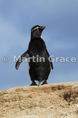 Southern Rockhopper Penguin (Eudyptes chrysocome chrysocome), Cape Coventry, Pebble Island