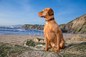 Hungarian Vizla  Sitting on Rocky Beach in Profile Looking Out to Sea