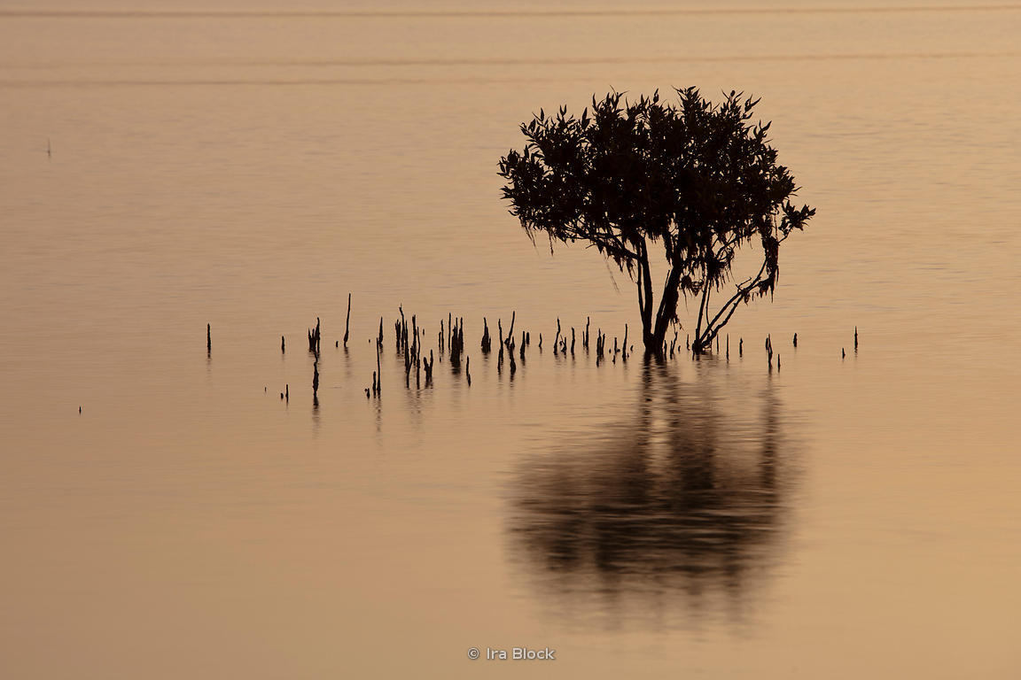 The sunrise illuminating mangrove trees in the bay off of Sir Bani Yas Island in Abu Dhabi.