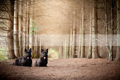 two short little black dogs with tongue posing together in pines