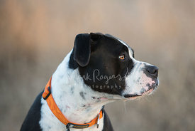 Outdoor Profile of Black and White Pitbull with Orange Collar