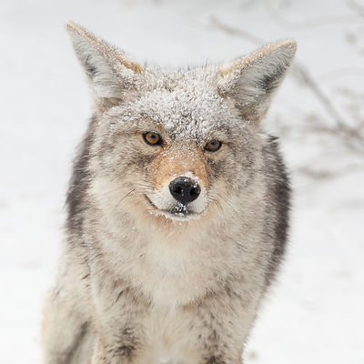 Snow Falling on Coyote