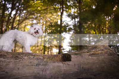 small white groomed dog standing on log in backlit forest
