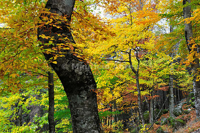 Sycamore maple and beech trees in Autumn time. Serra da Estrela Nature Park, Portugal
