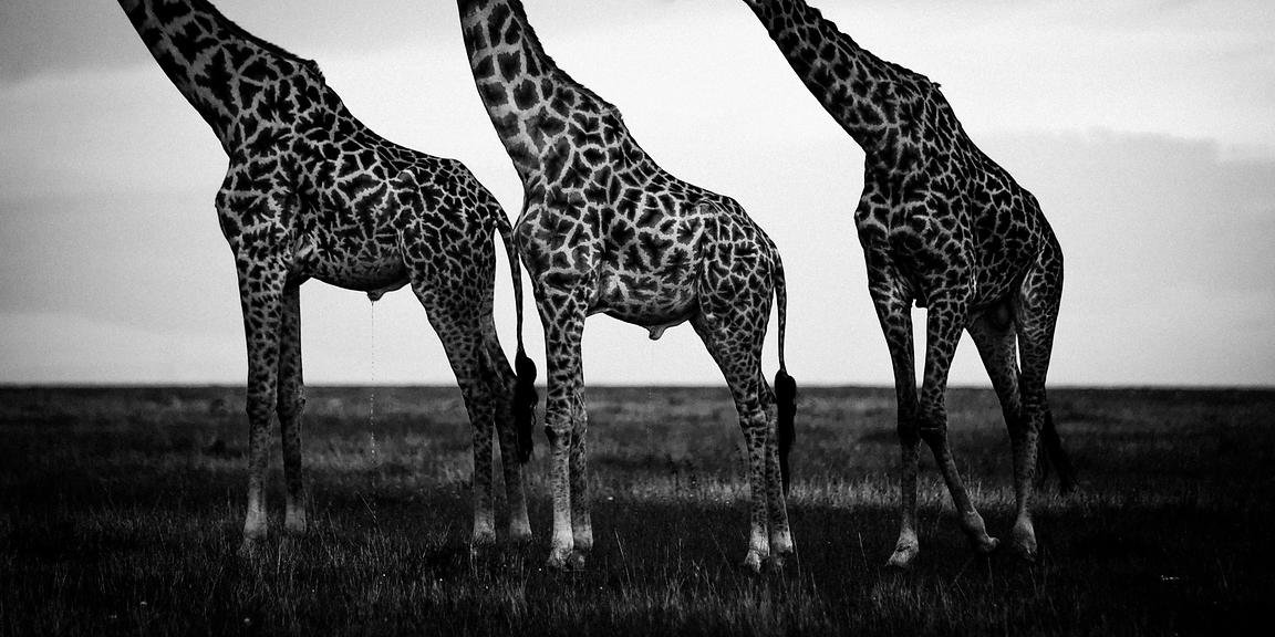 7408-Head_off_giraffes_Laurent_Baheux_Maasai_Mara_Kenya_2006