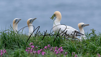 Gannets photos