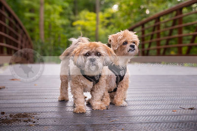 two small cute cream dogs together on steel bridge in summer