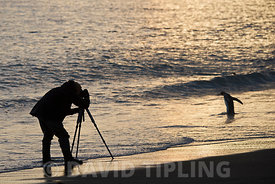 Photographer on beach at St Andrews Bay South Georgia photographing a King Penguin at dawn