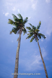 coconut trees or palm trees, with blue sky