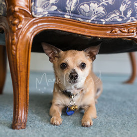 Small Tan Chihuahua Laying Down Under a Chair
