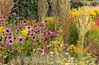 A section of one of the double herbaceous borders planted with predominantly hot colours including Echinacea purpurea Bressingham hybrids, tall Verbascum olympicum, and yellow anthemis and golden rod. Helmsley Walled Garden, Helmsley, York, North Yorkshire, UK