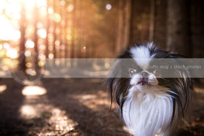 expressive longhaired japanese chin dog standing in forest