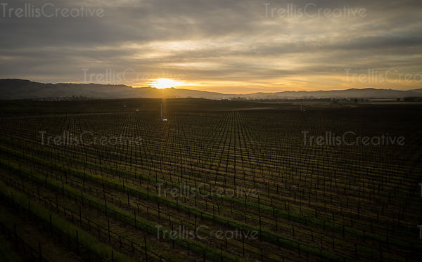 Sun sets low in the sky over a vineyard casting the light a golden hue