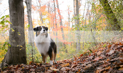 longhaired tricolor dog standing at attention in autumn leaves