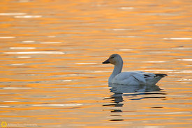 Snow Goose Floating #5