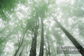 Beech forest (fagus sylvatica) in fog - Europe, Croatia, Lika-Senj, Plitvice Lakes - digital