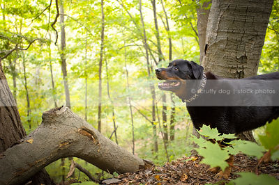 big rottweiler dog standing by tree in summer forest