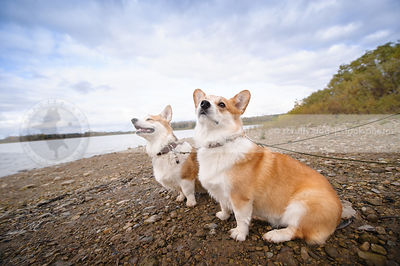 two short corgi dogs sitting on beach shore under sky