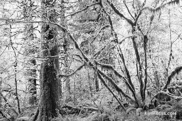 HOH RAINFOREST OLYMPIC NATIONAL PARK WASHINGTON PACIFIC NORTHWEST FOREST BLACK AND WHITE
