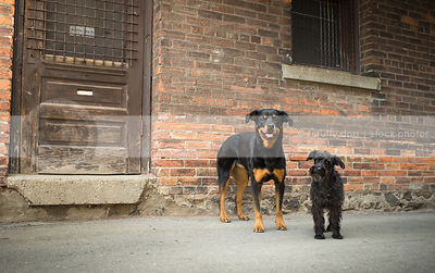 two happy dogs standing near wood door at urban brick wall