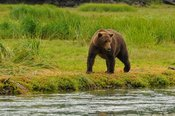 Grizzly Female Scouting For Salmon