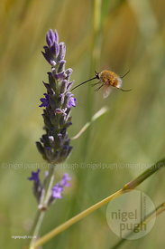 Heath Bee-fly - Bombylius minor