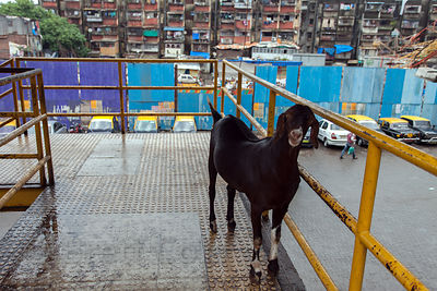 A goat on the Bandra Skywalk, Mumbai, India.