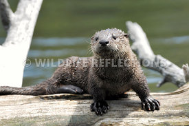 River Otter Pup Stance 3