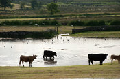 Cattle in meadow flooded after a thunderstorm, Cumbria, UK.