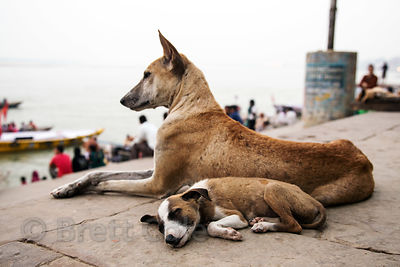 Street dogs on Munshi Ghat, Varanasi, India. Varanasi has a huge stray dog population.