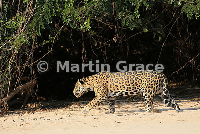 Male Jaguar (Panthera onca) 'Hero' follows 'Hunter' (not shown) down the beach, Three Brothers River, Northern Pantanal, Mato Grosso, Brazil. Image 4 of 62; elapsed time 1min