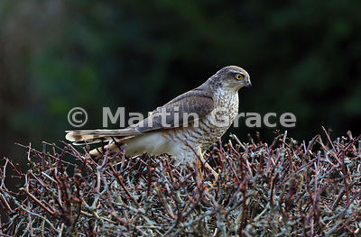 A juvenile male Eurasian Sparrowhawk stands in the top of a Japanese Barberry (Berberis thunbergii atropurpurea), Lyth Valley, Cumbria, England
