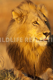 lion_king_profile_front_vertical_2