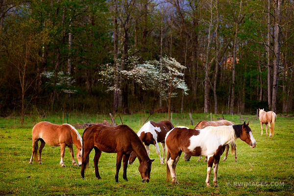 HORSES CADES COVE SMOKY MOUNTAINS COLOR