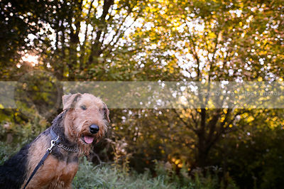 portrait of bearded dog staring from meadow clearing with trees