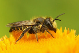 Megachile species - Leafcutter bee species - Behangersbij