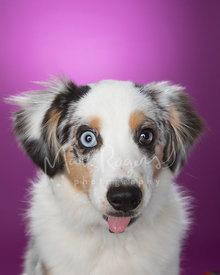Cute Miniature Australian Shepherd Puppy with Tongue Poking Out