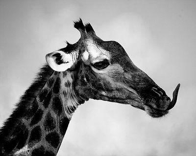 6371-Giraffe_sticks_her_tongue_Laurent_Baheux