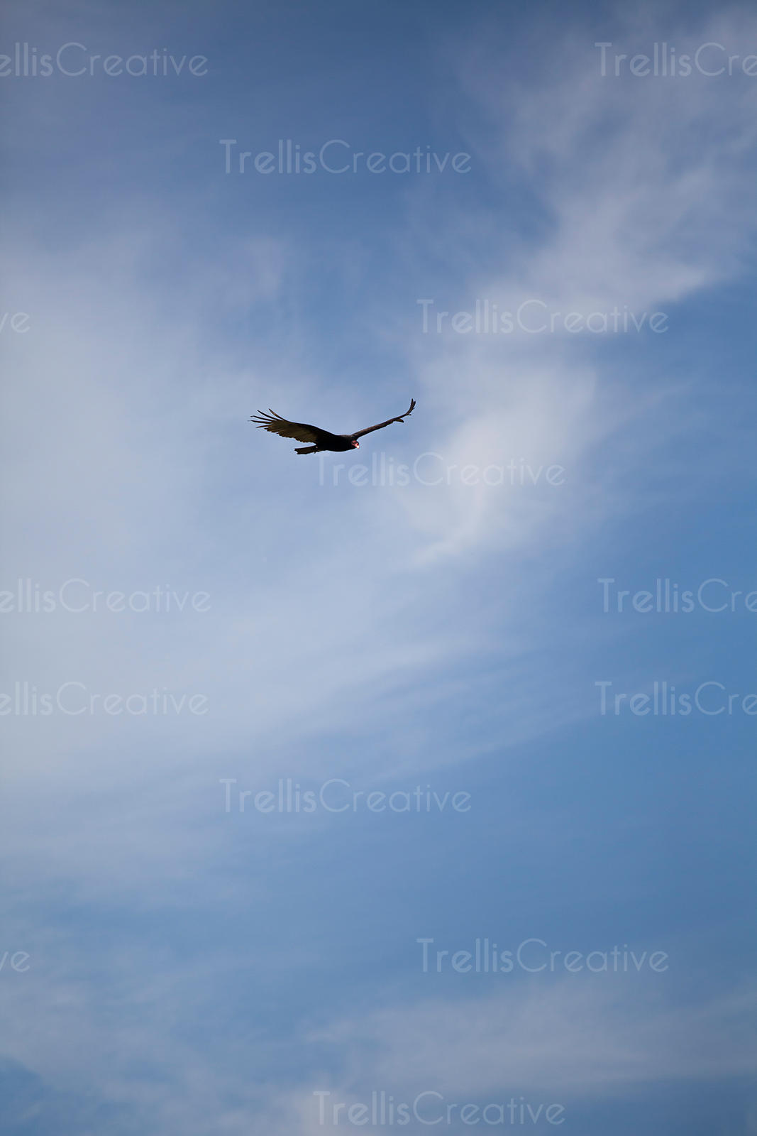 A turkey vulture soars high above hunting for food