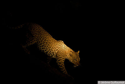 Leopard in the night