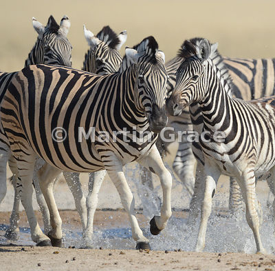 Spooked Plains Zebras (Equus burchellii) running from Andoni waterhole, Etosha National Park, Namibia