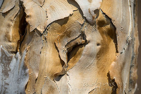 Quiver tree bark close-up