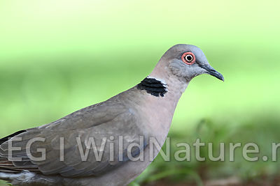 Red-eyed dove/Rødøyedue - South Africa