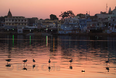 Stilts (sp.) (the bird species) are silhouetted alongside a floating oil lamp on Pushkar lake, Pushkar, Rajasthan, India