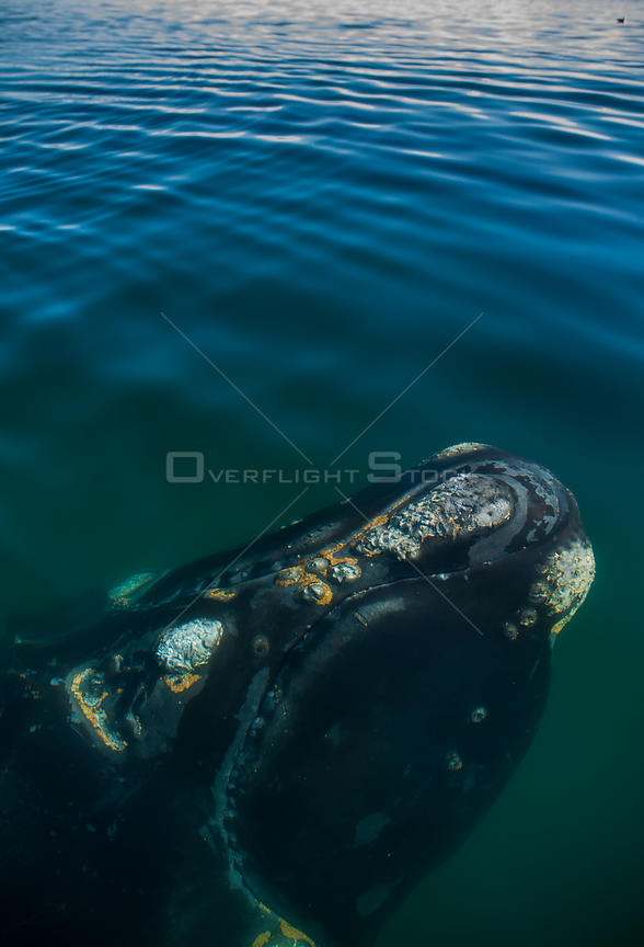Southern right whale (Eubalaena australis) close to the surface with barnacles on skin, Valdes Peninsula, Chubut, Patagonia, Argentina.