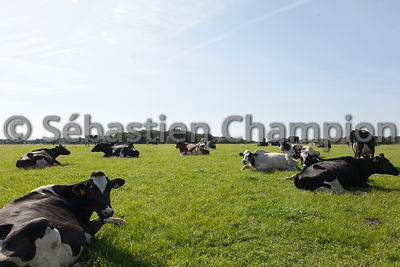 TROUPEAU DE VACHES LAITIERES DE RACE HOLSTEIN AU PATURAGE