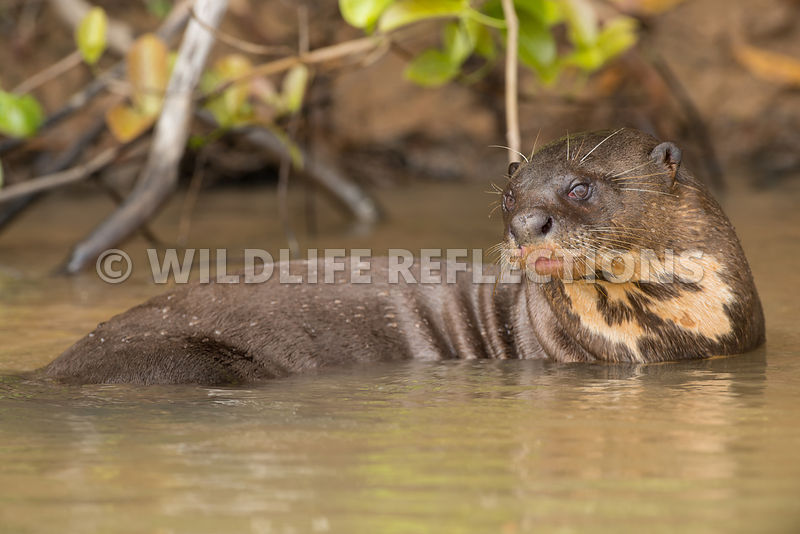 giant_otter_body_portrait-3