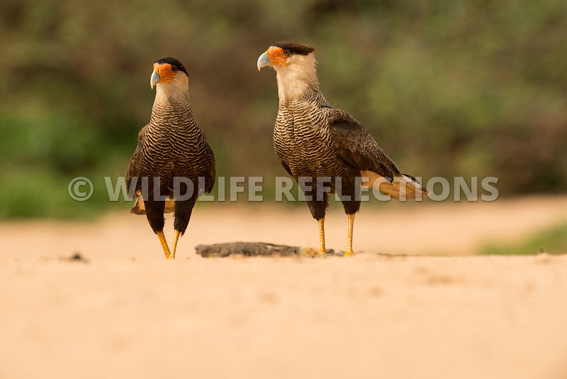 caracara_three_brothers_beach-6