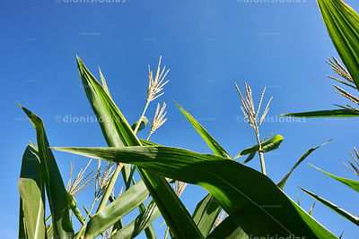 Detail of Corn Plantation.
